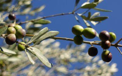 Il tempo delle olive